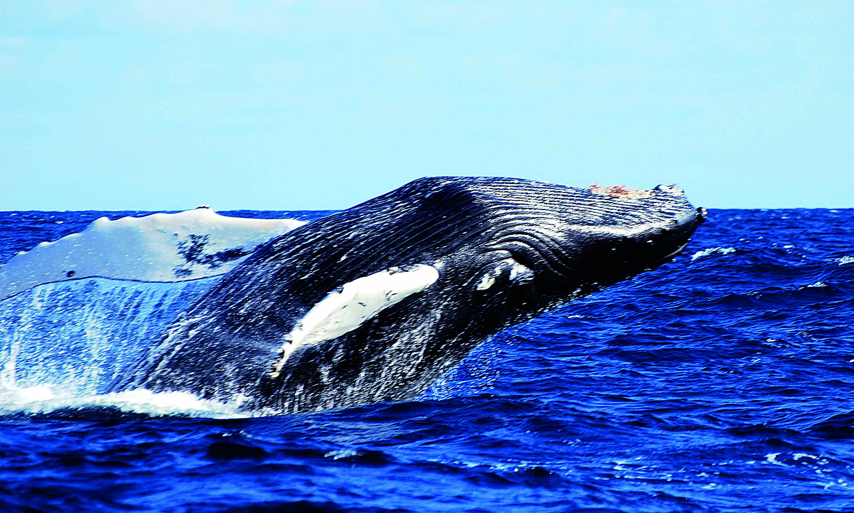 whale watching4 credit futurismo azores adventure - Top 15 whale watching trips